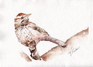 Watercolor - Cactus Wren